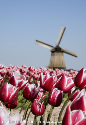 Dutch tulips and historic windmill